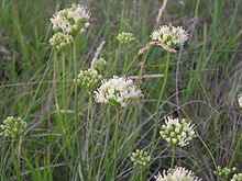 Allium flavescens (inflorescences).jpg