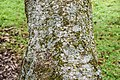 Alnus nepalensis in Hackfalls Arboretum (1).jpg