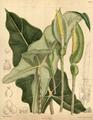 Alocasia micholitziana CBM.png