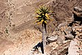 Aloe Dichotoma på Fish river canyon-0497 - Flickr - Ragnhild & Neil Crawford.jpg