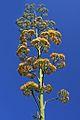 Aloe Maguey Flower (Agave americana) (8596821491).jpg