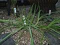 Aloe ballii1.jpg