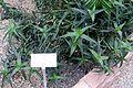 Aloe ciliaris - Botanischer Garten - Heidelberg, Germany - DSC01368.jpg