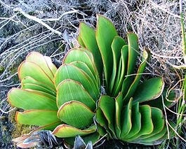 Aloe haemanthifolia of Western Cape mountaintops South Africa 7.JPG