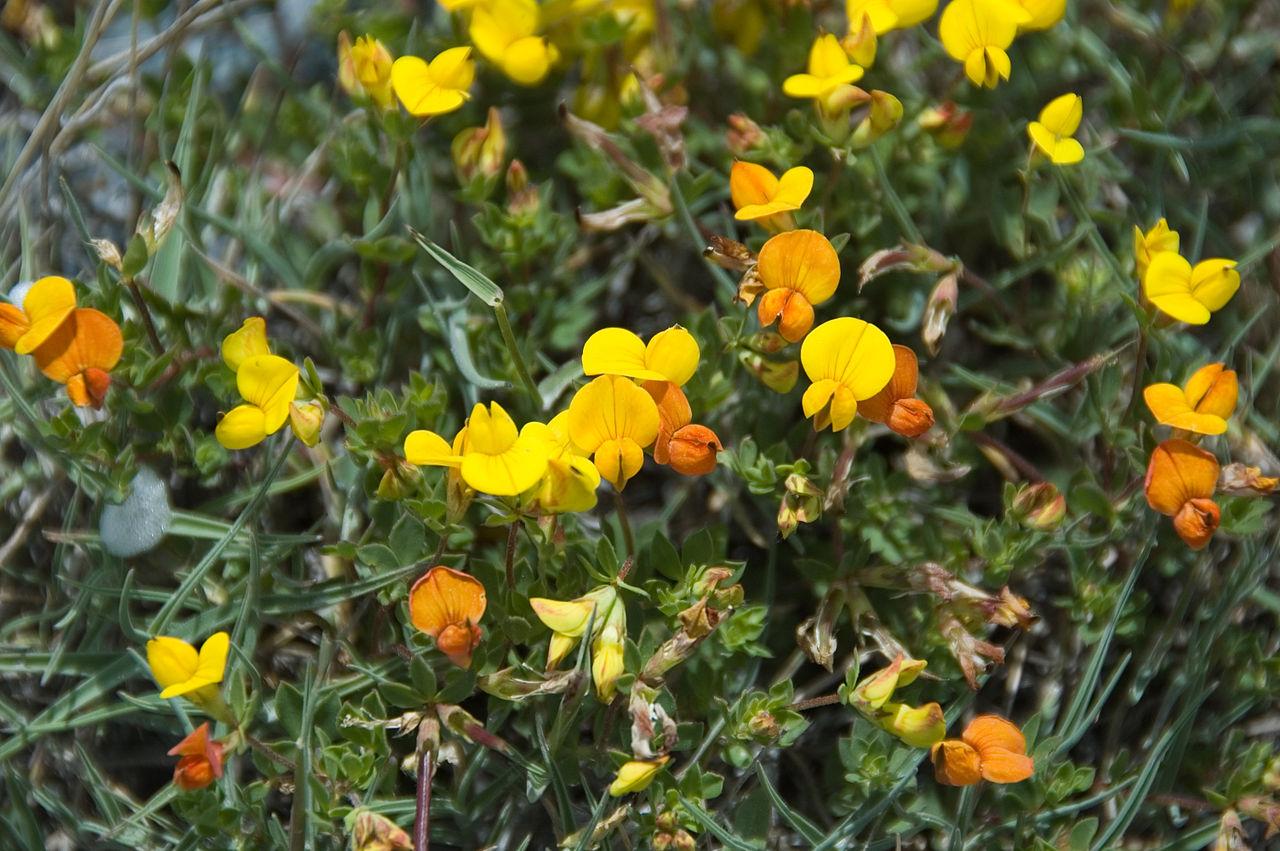 File alpine birdsfoot trefoil lotus alpinus 4827638800 jpg