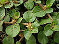 Alternanthera pungens flowers2 (11680354335).jpg