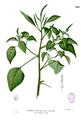 Amaranthus viridis Blanco2.262.png
