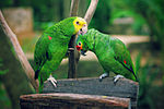 Amazona -Xcaret Eco Park -Mexico -two species-8a.jpg