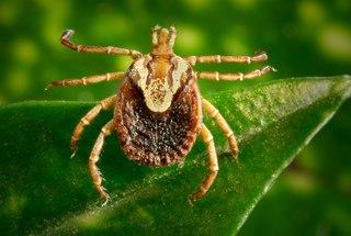 <i>Amblyomma cajennense</i> species of arachnid