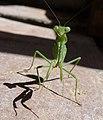 Ameles spalanziana - Flickr - gailhampshire.jpg