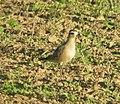 American Golden-Plover, Sand Lake, MI, September 14, 2012 (7987047785).jpg