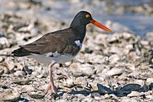 A large bird with a black head, bright red bill and brown body stands on a rocky coast