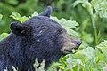 American black bear (Ursus americanus) - Jasper National Park 02.jpg
