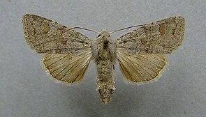 Weiblicher Falter von Ammoconia senex