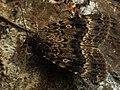 Amphipyra berbera - Svensson's copper underwing - Гладкая совка дубравная (40346744294).jpg