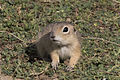 Anatolian Ground Squirrel - Spermophilus xanthoprymnus 03.jpg