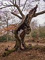 Ancient tree (7104356077).jpg