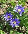 Anemona blanda i Plantis, Falköping 6622.jpg