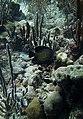 Angelfish French Angelfish (7342827834).jpg