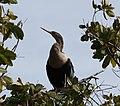 Anhinga in tree with light plumage 2.jpg