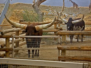 Ankole-Watusi - Bulls at the Living Desert Museum in California
