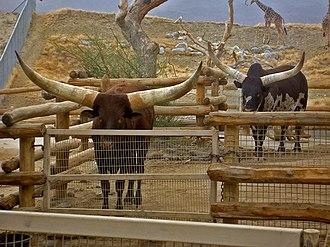 Ankole-Watusi - Bulls at the Living Desert Museum in California