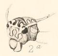 Ann. S. Afr. Mus. Vol. I Pl. VII Fig. 2a.png