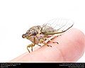 Annual cicada (Cicadidae, Neotibicen sp.) (28724363210).jpg