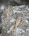 Anolis oculatus at Coulibistrie-c01.jpg