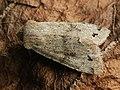 Anorthoa munda - Twin-spotted Quaker - Ранняя совка рыжеватая (39249286550).jpg
