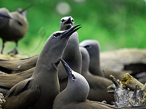 Brown noddy - Brown noddies nesting in Tubbataha Reef National Park in the Philippines.