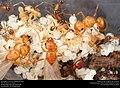 Ant queens on brood (Pheidole dentata) (42171519822).jpg