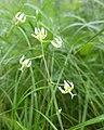 Anticlea sibirica 87819090.jpg