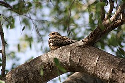 Antillean Nighthawk (Chordeiles gundlachii); with distinctive white patch, resting in Cabo Rojo National Wildlife Refuge, Puerto Rico.JPG