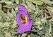 Apis mellifera on Cistus albidus 06.jpg