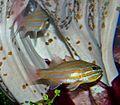 Apogon cyanosoma 1.jpg