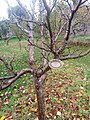 Apple cultivars in Priorwood Gardens in Melrose Scotland 2020 Jonagold.jpg