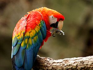 Scarlet macaw - At Fort Worth Zoo.