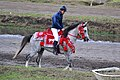 Arabian horse (6249842676).jpg