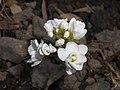 Arabis caucasica Flore Pleno 2016-04-22 8625.jpg