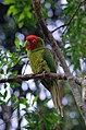 Aratinga erythrogenys -Birds of Eden, South Africa-8a.jpg