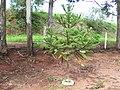 Araucaria angustifolia2.jpg