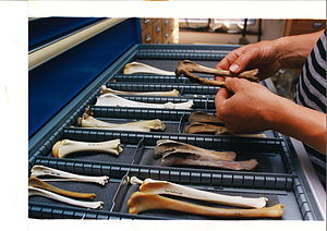 Zooarchaeology - A reference collection of shinbones (Tibia) of different animal species helps determining old bones. Dutch Heritage Agency.