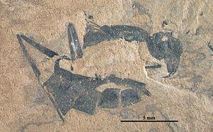Archimyrmex - A. piatnitzkyi holotype