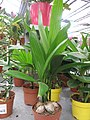 Areca catechu in a garden centre.jpg