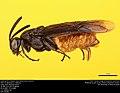 Argid sawfly (Argidae, Arge abdominalis (Leach)) (36217463370).jpg