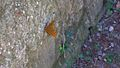 Argynnis paphia on a wall, 2010.JPG