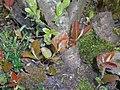 Aronia melanocarpa 2016-04-19 8076.JPG