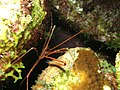 Arrow Crab (1888256843).jpg