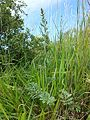 Artemisia pancicii sl26.jpg